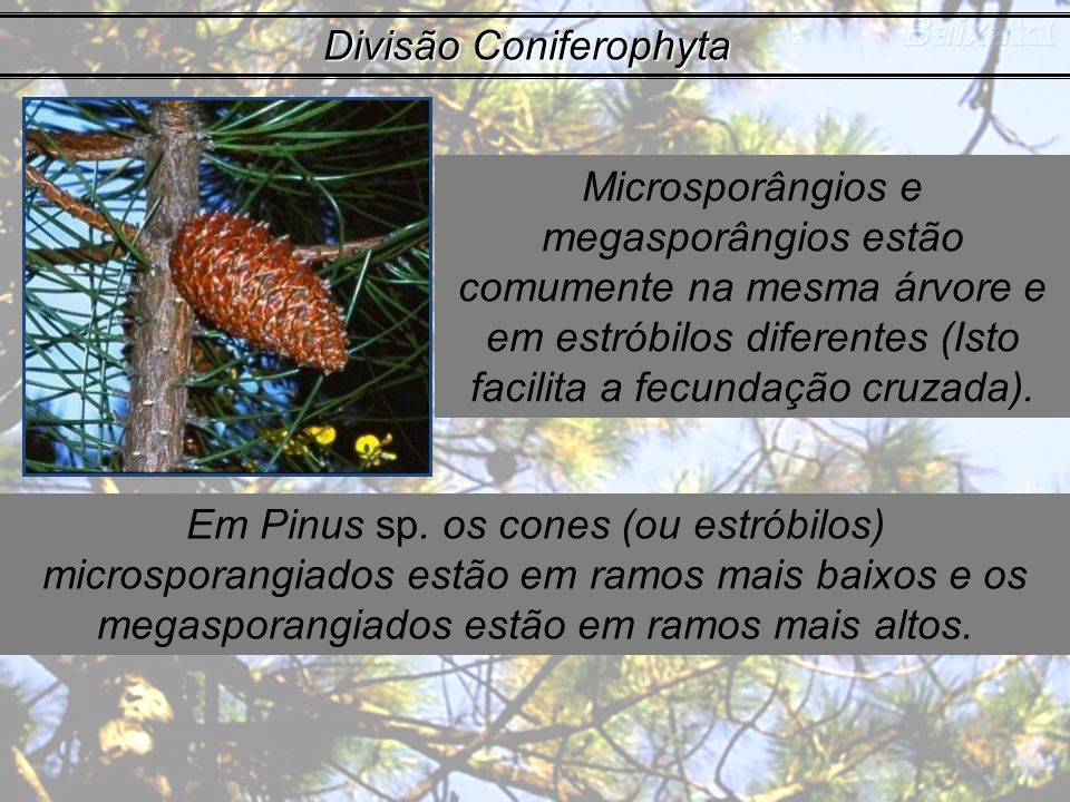 Divisão Coniferophyta Microsporângios e megasporângios estão comumente na mesma árvore e em estróbilos diferentes (Isto facilita a fecundação cruzada)