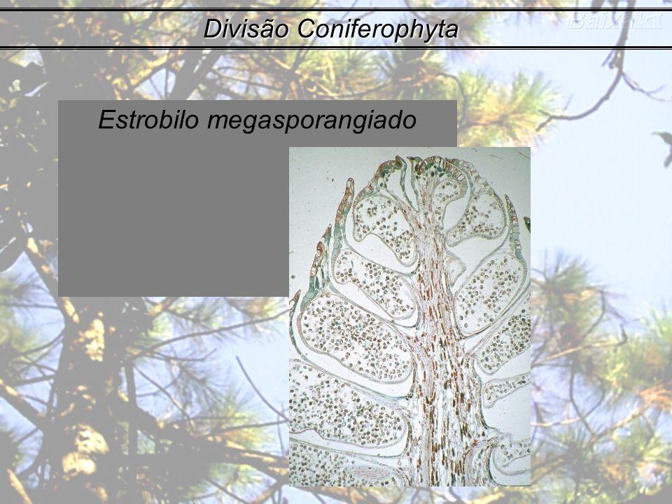 Estrobilo megasporangiado Divisão Coniferophyta