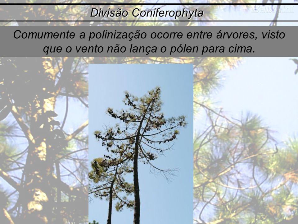 Comumente a polinização ocorre entre árvores, visto que o vento não lança o pólen para cima. Divisão Coniferophyta