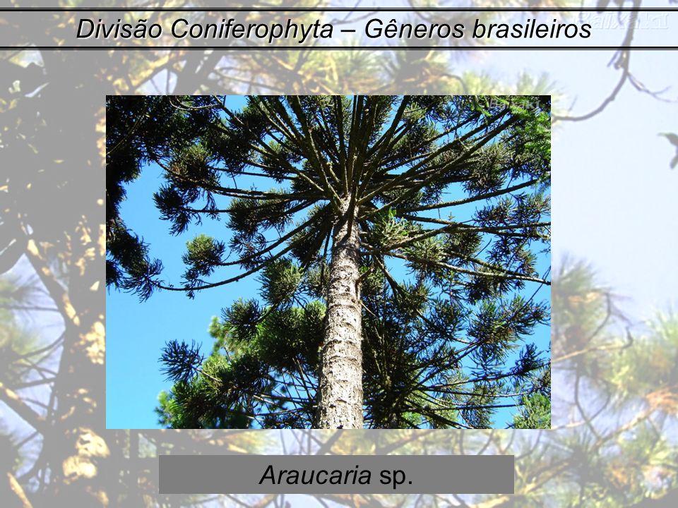 Divisão Coniferophyta – Gêneros brasileiros Araucaria sp.