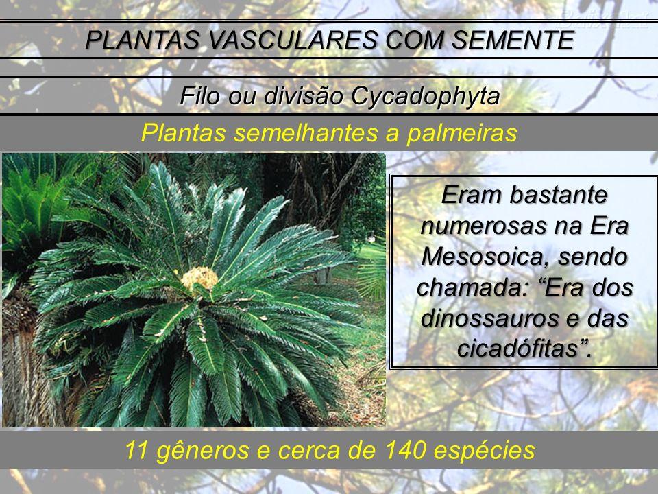 PLANTAS VASCULARES COM SEMENTE Eram bastante numerosas na Era Mesosoica, sendo chamada: Era dos dinossauros e das cicadófitas. Plantas semelhantes a p