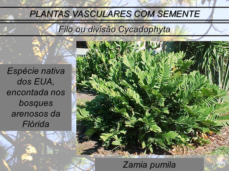 Zamia pumila PLANTAS VASCULARES COM SEMENTE Filo ou divisão Cycadophyta Espécie nativa dos EUA, encontada nos bosques arenosos da Flórida
