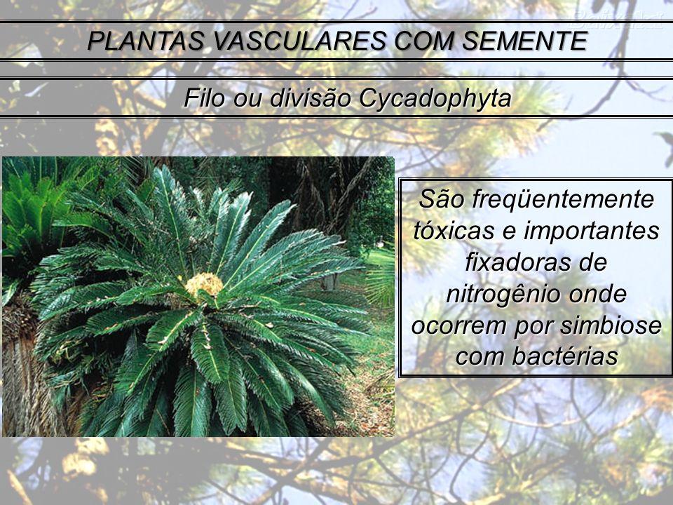 PLANTAS VASCULARES COM SEMENTE São freqüentemente tóxicas e importantes fixadoras de nitrogênio onde ocorrem por simbiose com bactérias Filo ou divisã