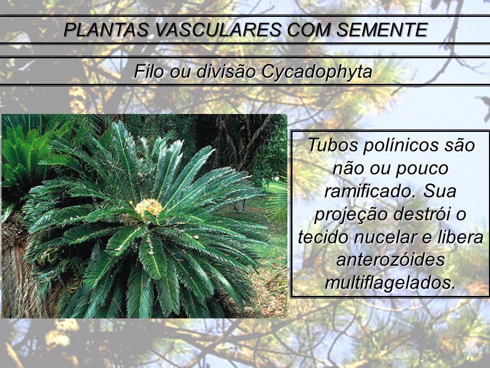 PLANTAS VASCULARES COM SEMENTE Tubos polínicos são não ou pouco ramificado. Sua projeção destrói o tecido nucelar e libera anterozóides multiflagelado