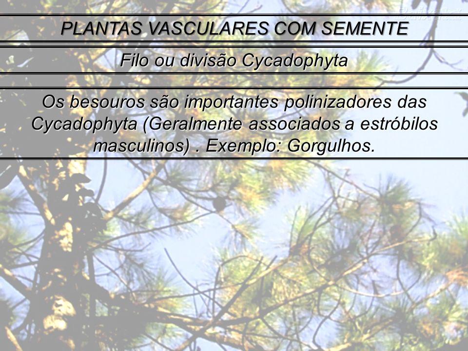 PLANTAS VASCULARES COM SEMENTE Filo ou divisão Cycadophyta Os besouros são importantes polinizadores das Cycadophyta (Geralmente associados a estróbilos masculinos).