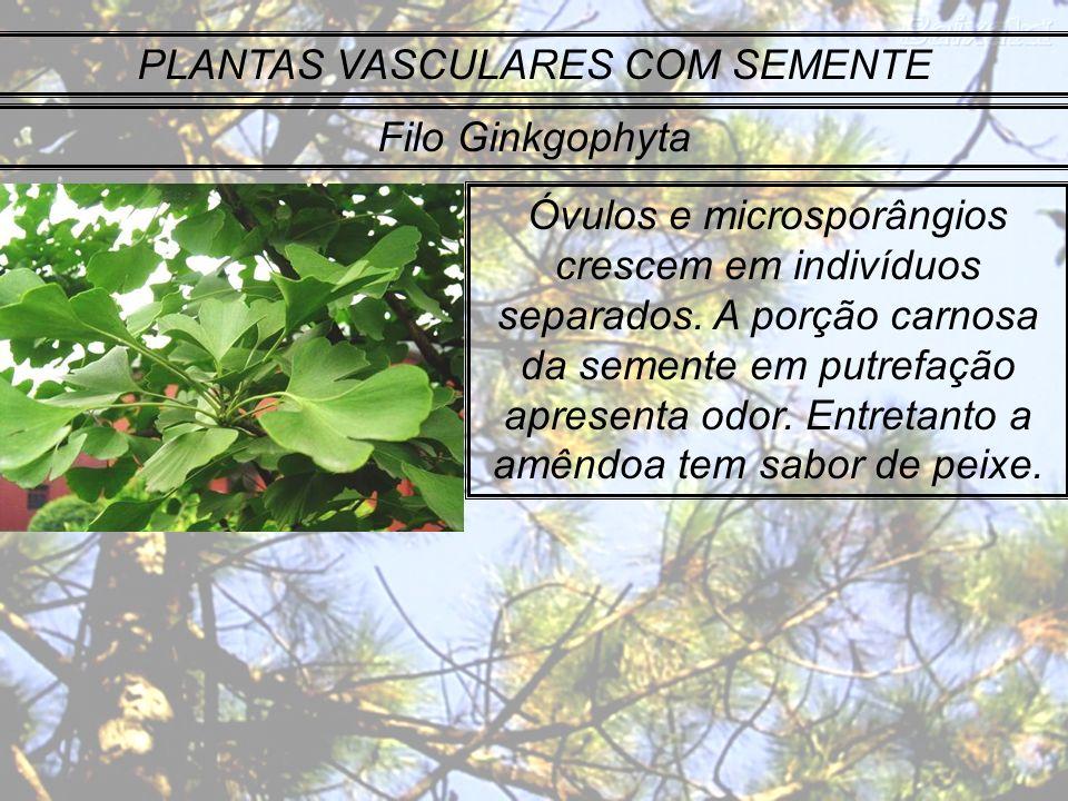 PLANTAS VASCULARES COM SEMENTE Filo Ginkgophyta Óvulos e microsporângios crescem em indivíduos separados. A porção carnosa da semente em putrefação ap