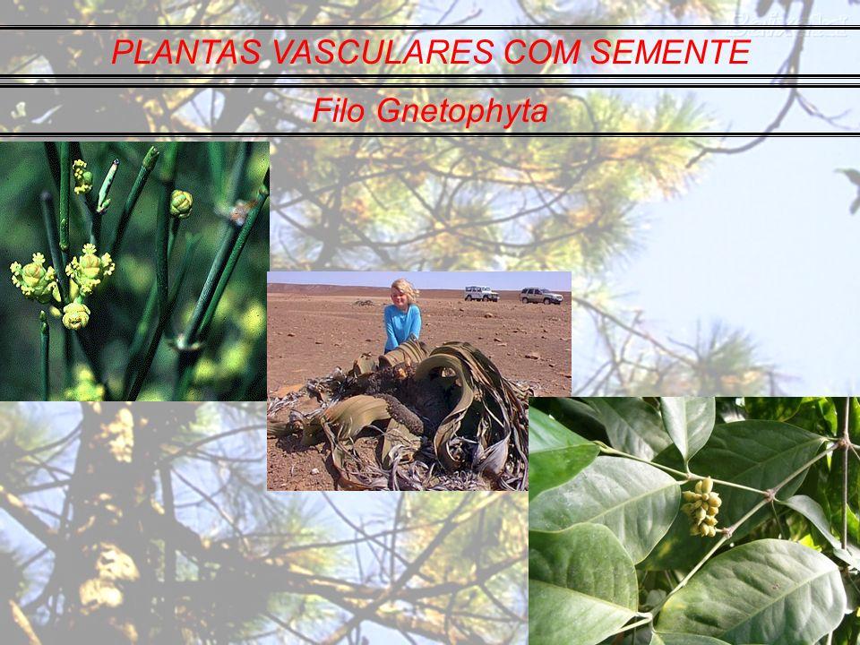PLANTAS VASCULARES COM SEMENTE Filo Gnetophyta
