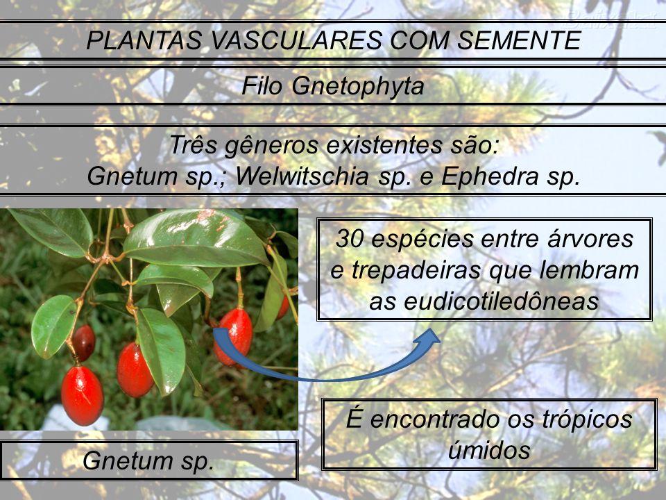 PLANTAS VASCULARES COM SEMENTE Filo Gnetophyta Três gêneros existentes são: Gnetum sp.; Welwitschia sp. e Ephedra sp. Gnetum sp. 30 espécies entre árv