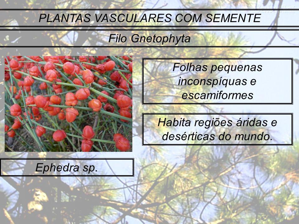 PLANTAS VASCULARES COM SEMENTE Filo Gnetophyta Ephedra sp. Folhas pequenas inconspíquas e escamiformes Habita regiões áridas e desérticas do mundo.
