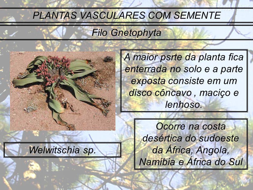 PLANTAS VASCULARES COM SEMENTE Filo Gnetophyta Welwitschia sp. A maior psrte da planta fica enterrada no solo e a parte exposta consiste em um disco c