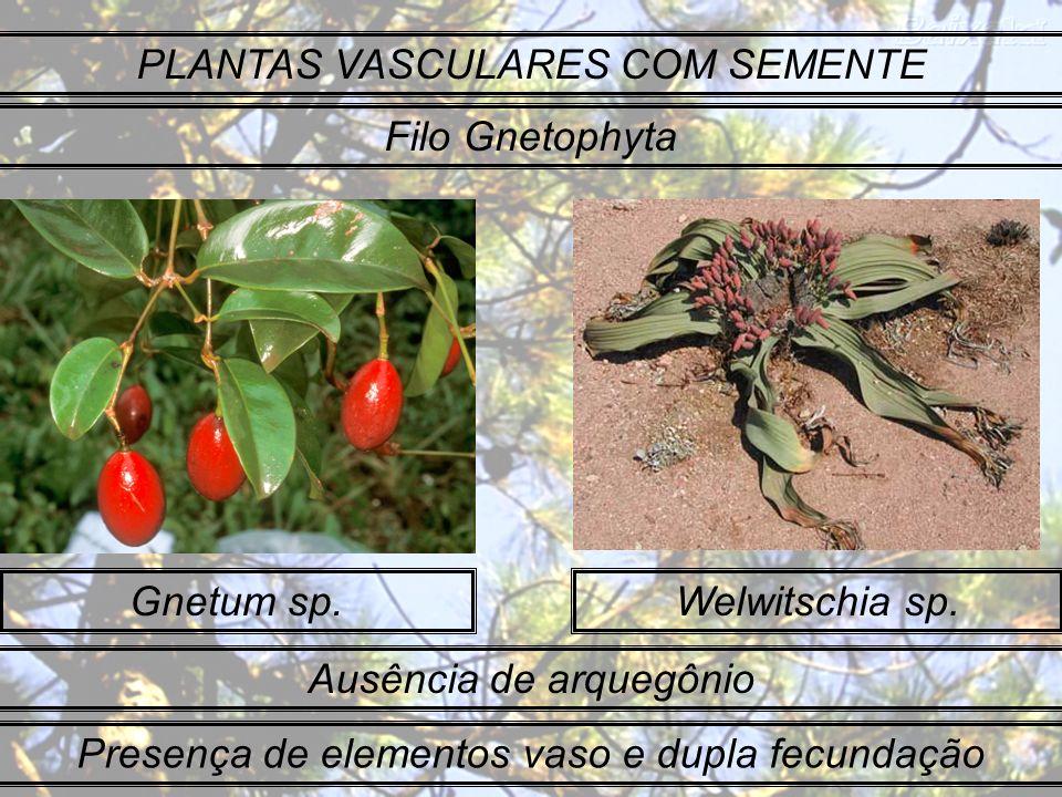 Gnetum sp.Welwitschia sp. PLANTAS VASCULARES COM SEMENTE Filo Gnetophyta Ausência de arquegônio Presença de elementos vaso e dupla fecundação