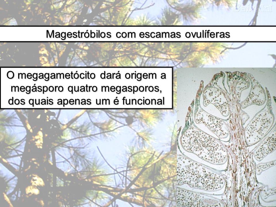 Magestróbilos com escamas ovulíferas O megagametócito dará origem a megásporo quatro megasporos, dos quais apenas um é funcional