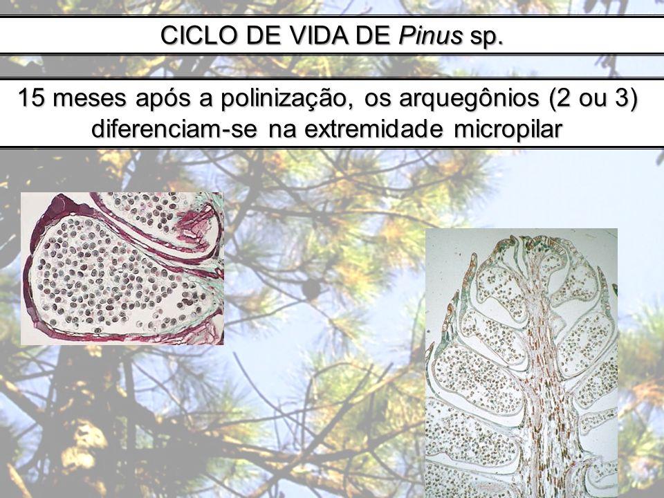 CICLO DE VIDA DE Pinus sp. 15 meses após a polinização, os arquegônios (2 ou 3) diferenciam-se na extremidade micropilar