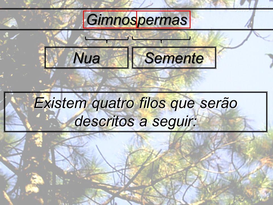 Divisão Coniferophyta Pinus sp. Dominam largas faixas da américa do norte e Eurásia.