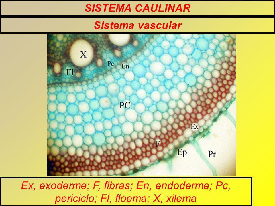 SISTEMA CAULINAR Sistema vascular Ex, exoderme; F, fibras; En, endoderme; Pc, periciclo; Fl, floema; X, xilema