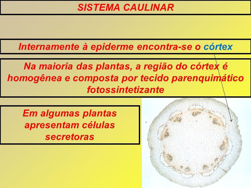 SISTEMA CAULINAR Internamente à epiderme encontra-se o córtex Na maioria das plantas, a região do córtex é homogênea e composta por tecido parenquimático fotossintetizante Em algumas plantas apresentam células secretoras