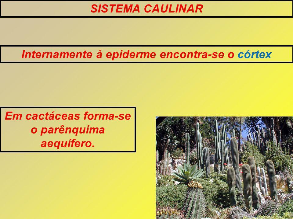 SISTEMA CAULINAR Internamente à epiderme encontra-se o córtex Em cactáceas forma-se o parênquima aequífero.