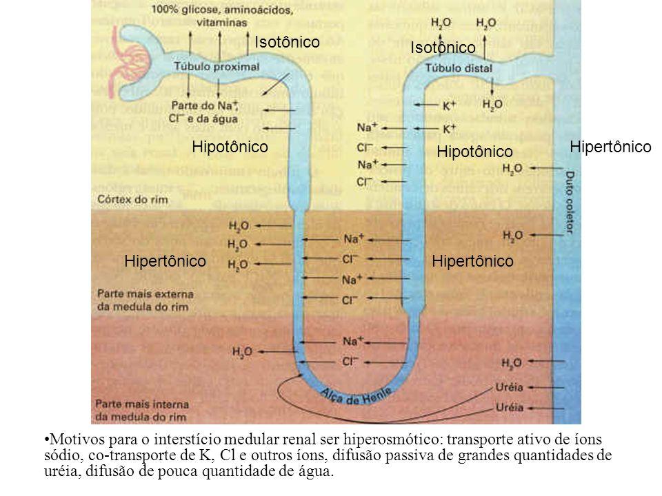 Hipotônico Isotônico Hipotônico Isotônico Hipertônico Motivos para o interstício medular renal ser hiperosmótico: transporte ativo de íons sódio, co-t