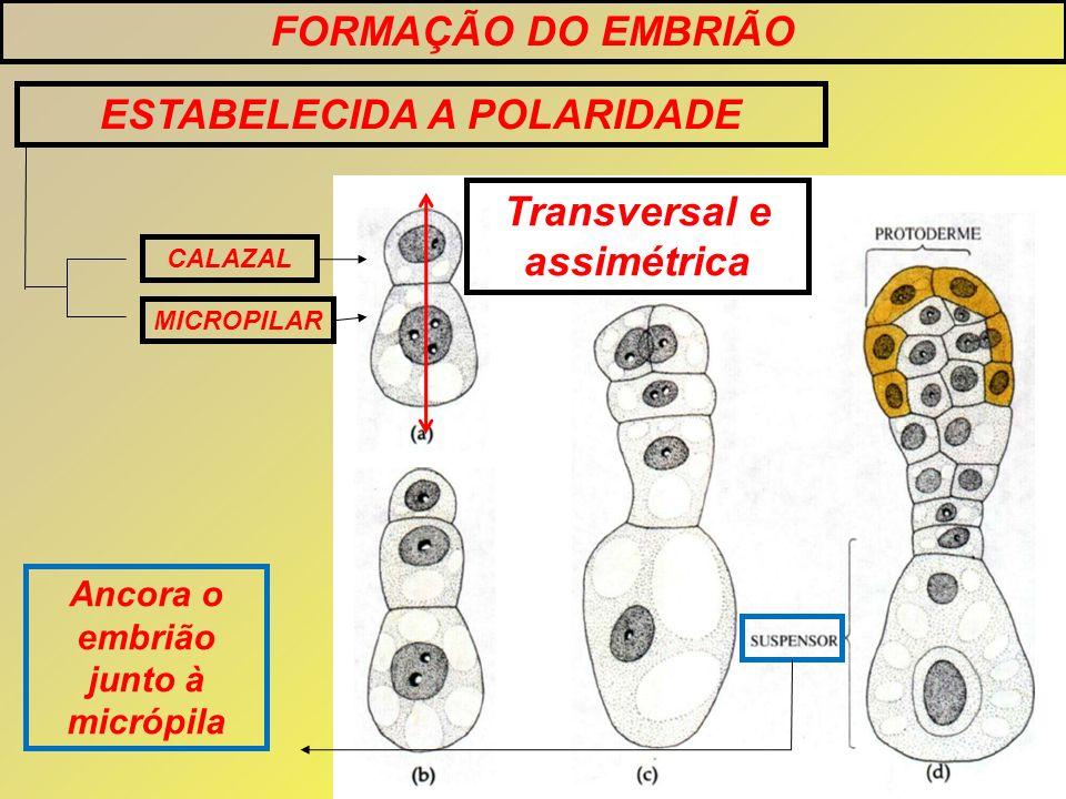 FORMAÇÃO DO EMBRIÃO ESTABELECIDA A POLARIDADE CALAZAL MICROPILAR Ancora o embrião junto à micrópila Transversal e assimétrica