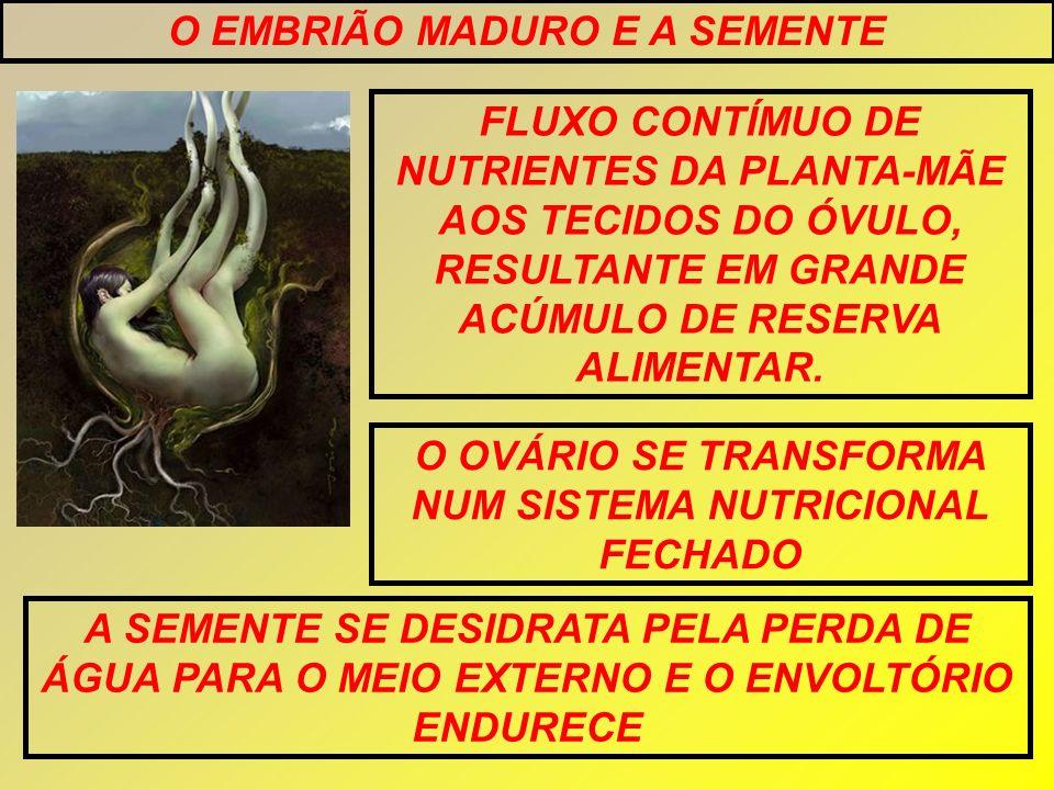 O EMBRIÃO MADURO E A SEMENTE FLUXO CONTÍMUO DE NUTRIENTES DA PLANTA-MÃE AOS TECIDOS DO ÓVULO, RESULTANTE EM GRANDE ACÚMULO DE RESERVA ALIMENTAR. O OVÁ