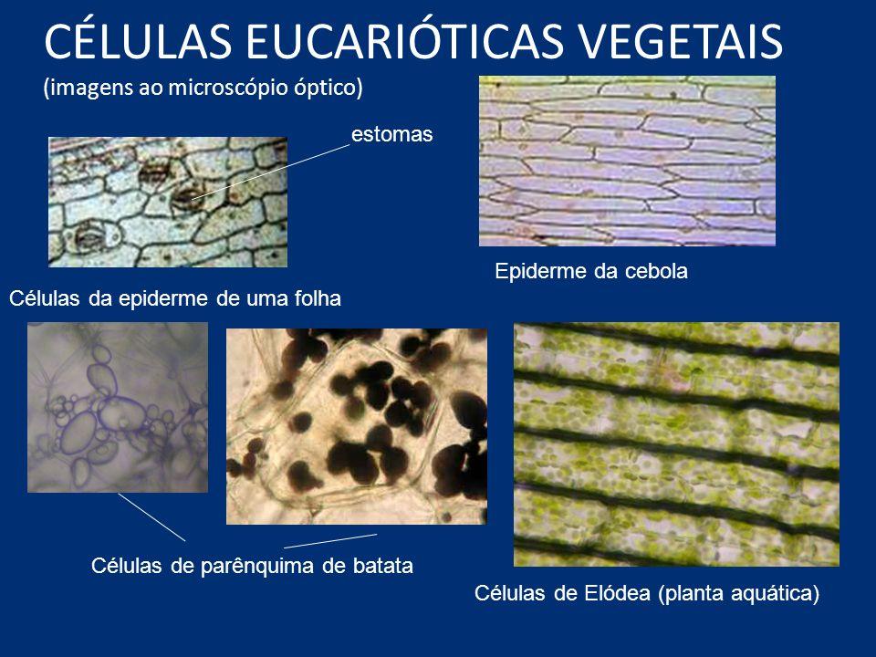 CÉLULAS EUCARIÓTICAS VEGETAIS (imagens ao microscópio óptico) Células da epiderme de uma folha estomas Epiderme da cebola Células de parênquima de bat