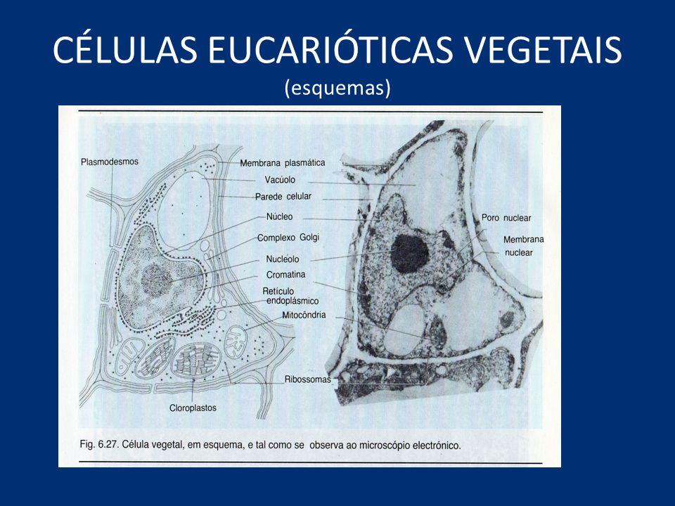 CÉLULAS EUCARIÓTICAS VEGETAIS (esquemas)