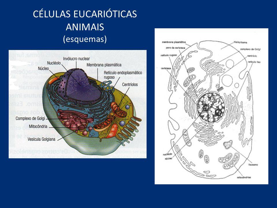 CÉLULAS EUCARIÓTICAS ANIMAIS (esquemas)