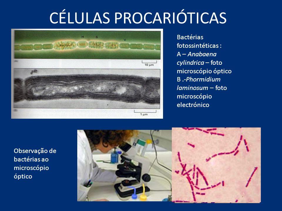 CÉLULAS PROCARIÓTICAS Bactérias fotossintéticas : A – Anabaena cylindrica – foto microscópio óptico B.-Phormidium laminosum – foto microscópio electró