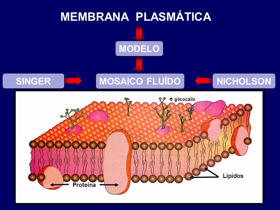 SINGER NICHOLSON Proteína Lípidos MODELO MOSAICO FLUÍDO glicocálix MEMBRANA PLASMÁTICA