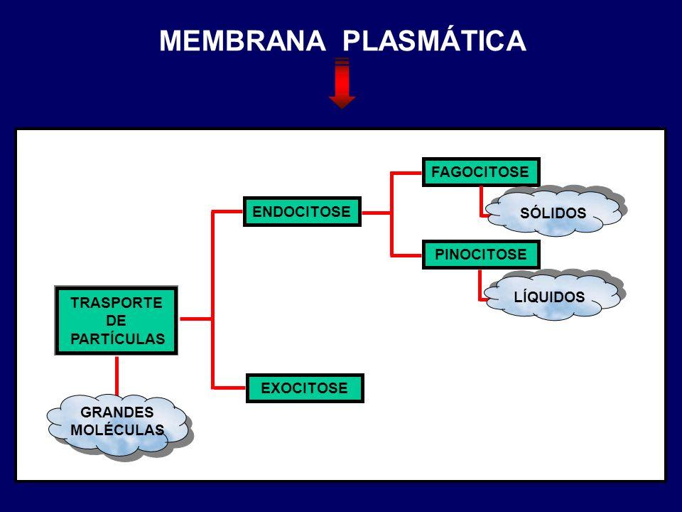 TRASPORTE DE PARTÍCULAS GRANDES MOLÉCULAS ENDOCITOSE EXOCITOSE FAGOCITOSE PINOCITOSE SÓLIDOSLÍQUIDOS MEMBRANA PLASMÁTICA