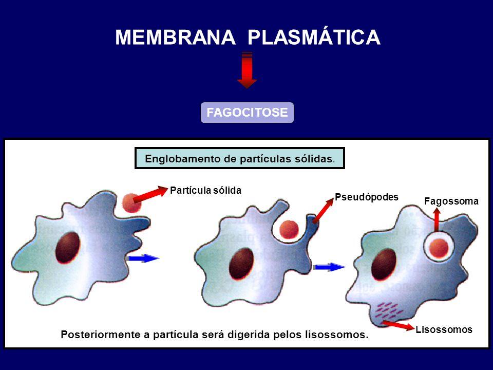 FAGOCITOSE Englobamento de partículas sólidas. Partícula sólida Pseudópodes Fagossoma Lisossomos Posteriormente a partícula será digerida pelos lisoss