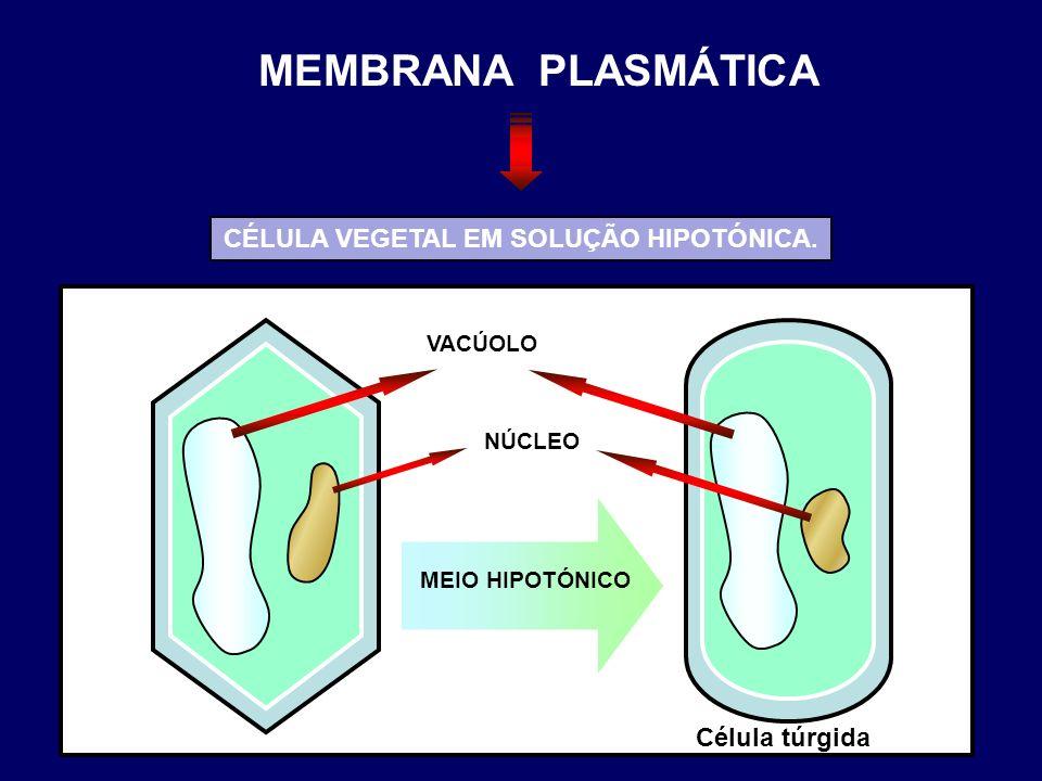VACÚOLO NÚCLEO MEIO HIPOTÓNICO Célula túrgida CÉLULA VEGETAL EM SOLUÇÃO HIPOTÓNICA. MEMBRANA PLASMÁTICA