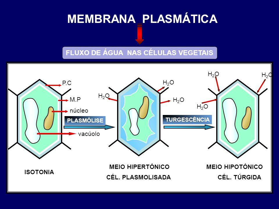 ISOTONIA P.C M.P núcleo vacúolo MEIO HIPOTÓNICO CÉL. TÚRGIDA PLASMÓLISE MEIO HIPERTÓNICO CÉL. PLASMOLISADA TURGESCÊNCIA H2OH2O H2OH2O H2OH2O H2OH2O H2