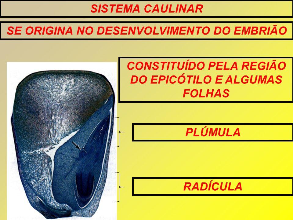 SISTEMA CAULINAR PLÚMULA RADÍCULA SE ORIGINA NO DESENVOLVIMENTO DO EMBRIÃO CONSTITUÍDO PELA REGIÃO DO EPICÓTILO E ALGUMAS FOLHAS