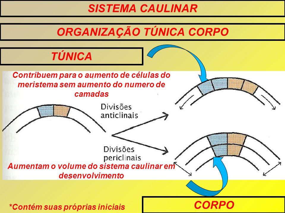 SISTEMA CAULINAR ORGANIZAÇÃO TÚNICA CORPO TÚNICA CORPO Contribuem para o aumento de células do meristema sem aumento do numero de camadas Aumentam o v