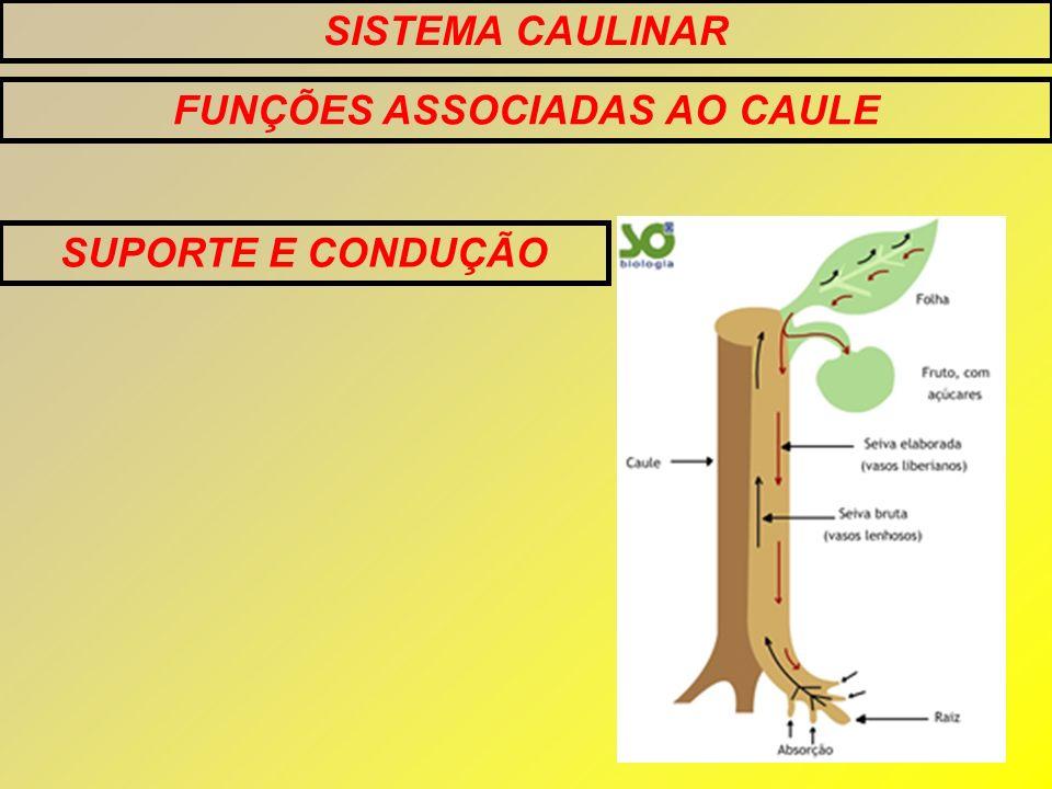 FUNÇÕES ASSOCIADAS AO CAULE SUPORTE E CONDUÇÃO
