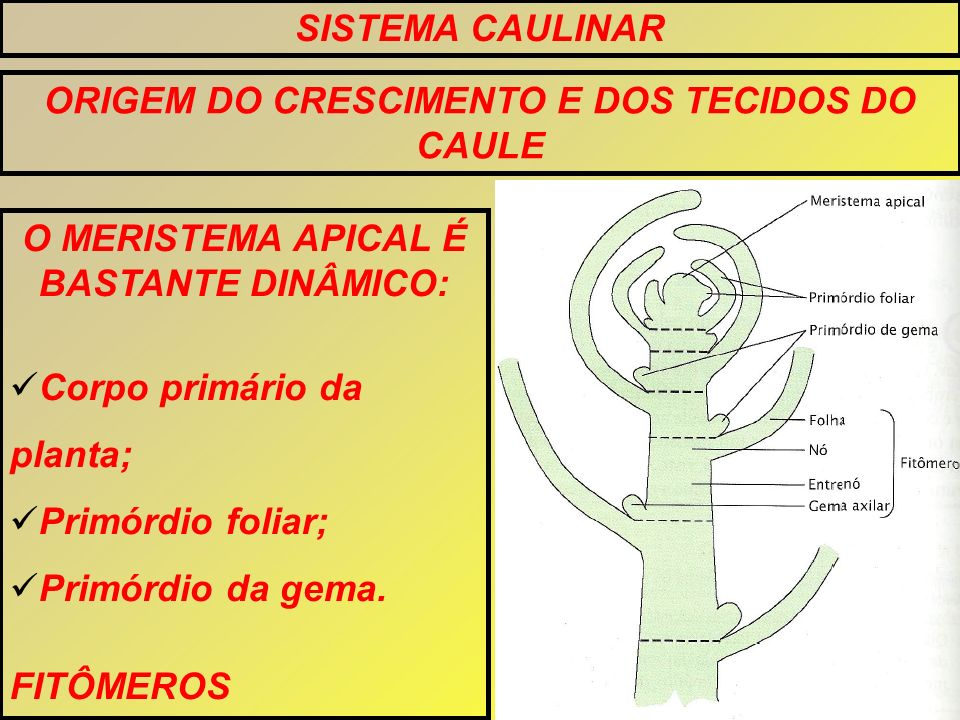 SISTEMA CAULINAR