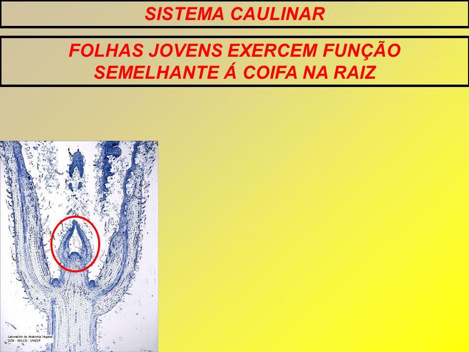 SISTEMA CAULINAR ORGANIZAÇÃO TÚNICA CORPO