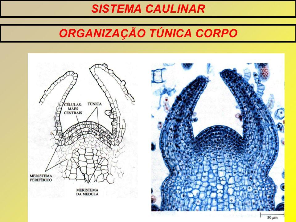SISTEMA CAULINAR ORGANIZAÇÃO TÚNICA CORPO TÚNICA CORPO Contribuem para o aumento de células do meristema sem aumento do numero de camadas Aumentam o volume do sistema caulinar em desenvolvimento *Contém suas próprias iniciais
