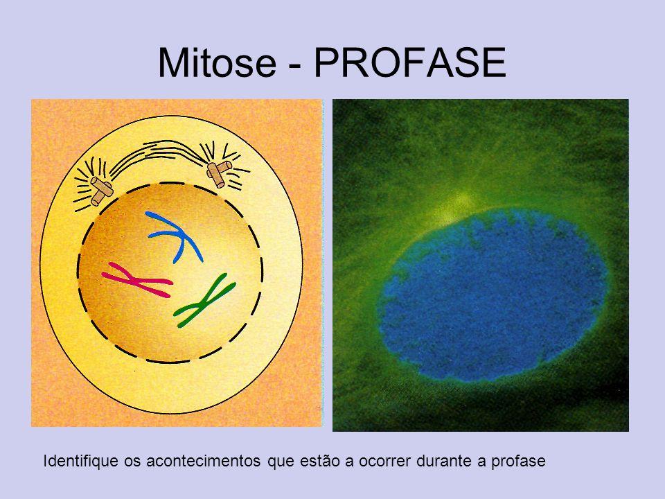 Mitose - PROFASE Identifique os acontecimentos que estão a ocorrer durante a profase