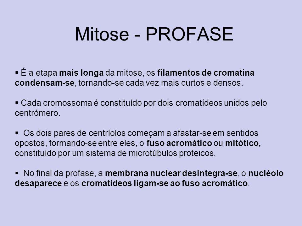 Mitose - PROFASE É a etapa mais longa da mitose, os filamentos de cromatina condensam-se, tornando-se cada vez mais curtos e densos. Cada cromossoma é