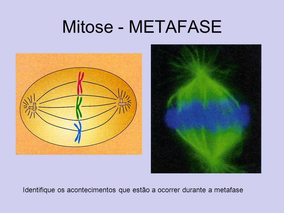 Mitose - METAFASE Identifique os acontecimentos que estão a ocorrer durante a metafase