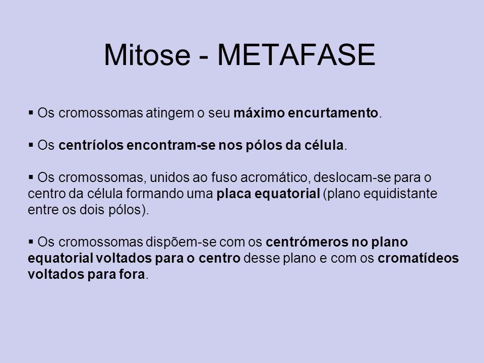 Mitose - METAFASE Os cromossomas atingem o seu máximo encurtamento. Os centríolos encontram-se nos pólos da célula. Os cromossomas, unidos ao fuso acr