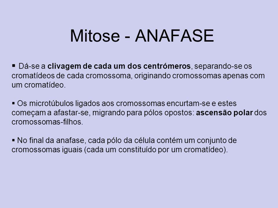 Mitose - ANAFASE Dá-se a clivagem de cada um dos centrómeros, separando-se os cromatídeos de cada cromossoma, originando cromossomas apenas com um cro