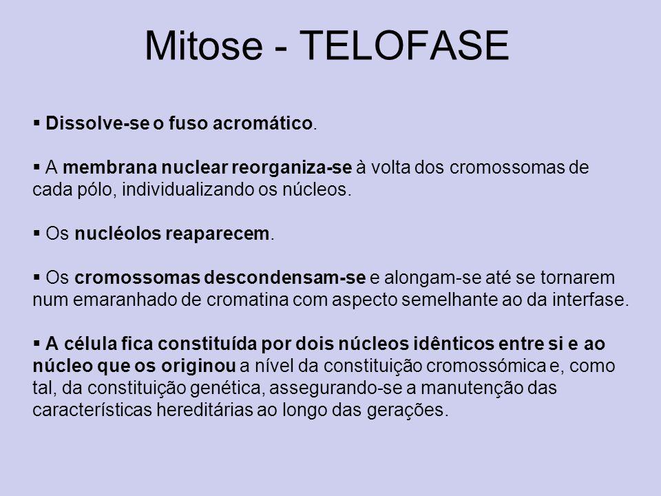 Mitose - TELOFASE Dissolve-se o fuso acromático. A membrana nuclear reorganiza-se à volta dos cromossomas de cada pólo, individualizando os núcleos. O