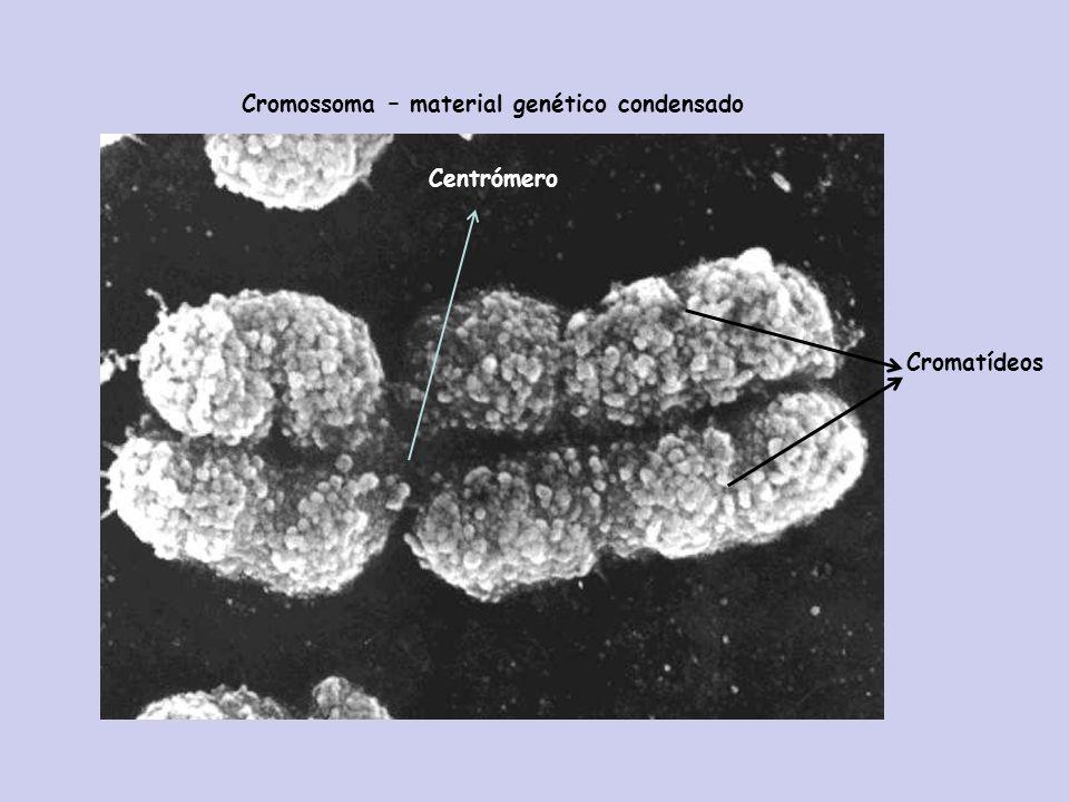 Cromossoma – material genético condensado Centrómero Cromatídeos