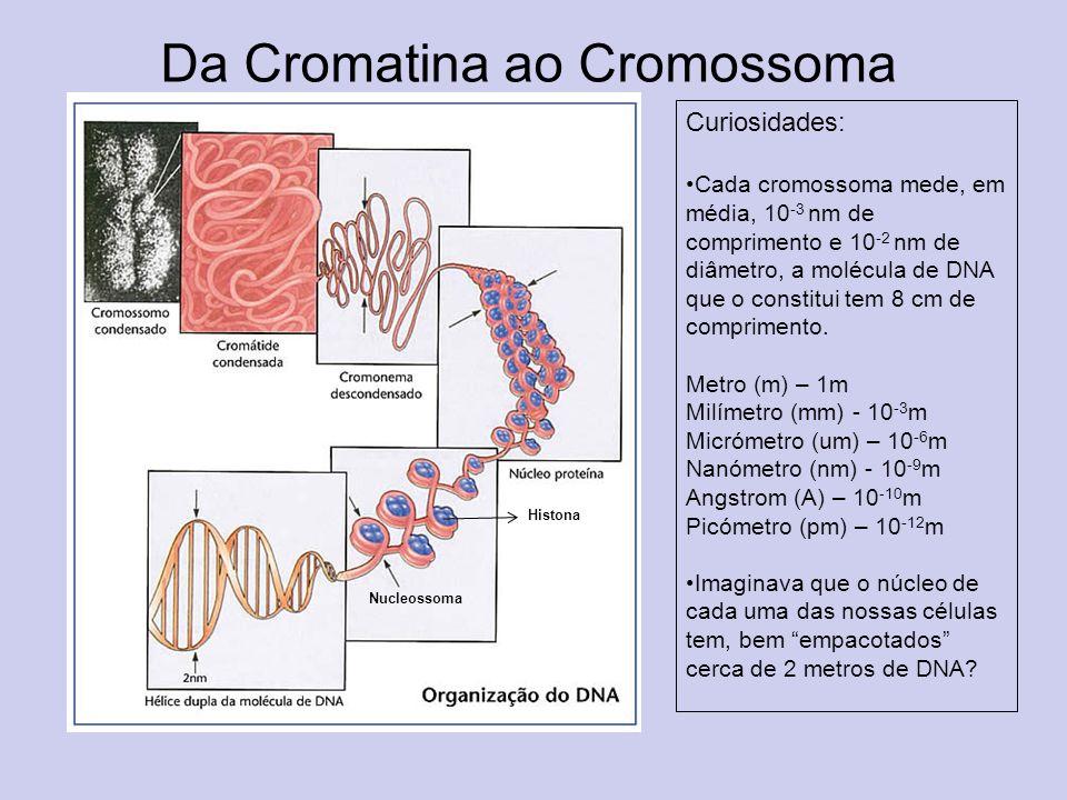 Da Cromatina ao Cromossoma Curiosidades: Cada cromossoma mede, em média, 10 -3 nm de comprimento e 10 -2 nm de diâmetro, a molécula de DNA que o const