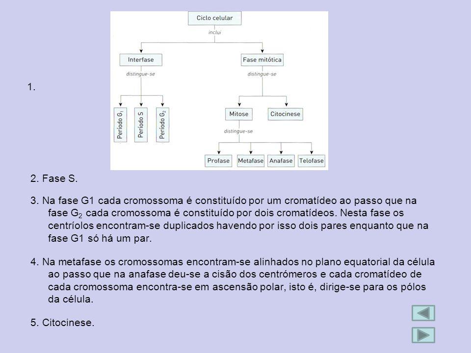 1. 2. Fase S. 3. Na fase G1 cada cromossoma é constituído por um cromatídeo ao passo que na fase G 2 cada cromossoma é constituído por dois cromatídeo