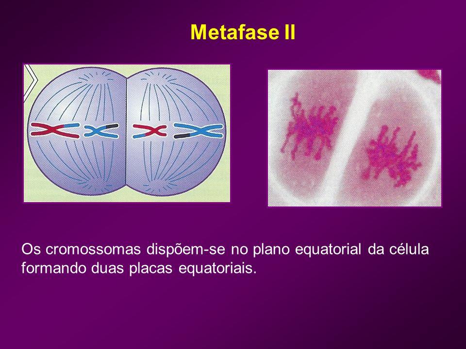 Anafase II Rompimento dos centrómeros – ascensão dos cromossomas-filhos; Os cromossomas-irmãos são geneticamente diferentes devido aos fenómenos de crossing-over.