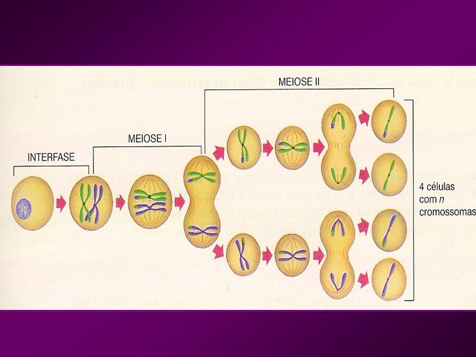 cromatina núcleo nucléolo Profase I (início) Fraca espiralização da cromatina; Os cromossomas apresentam-se finos e longos.